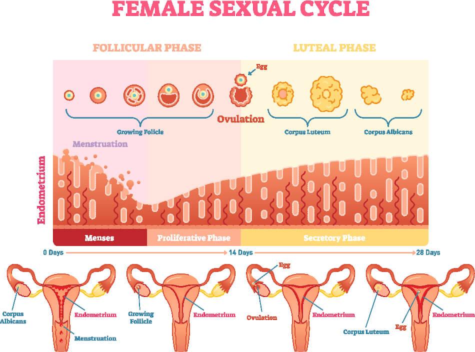 Jeden Monat durchläuft der Körper einer Frau mehrere Phasen. Dies wird als Zyklus bezeichnet